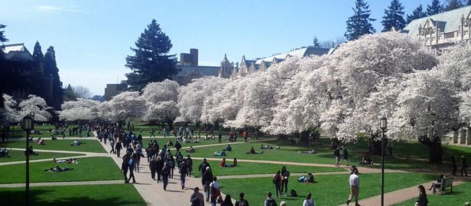 Cherry Blossoms in the UW Quad