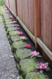 Primrose along the walkway