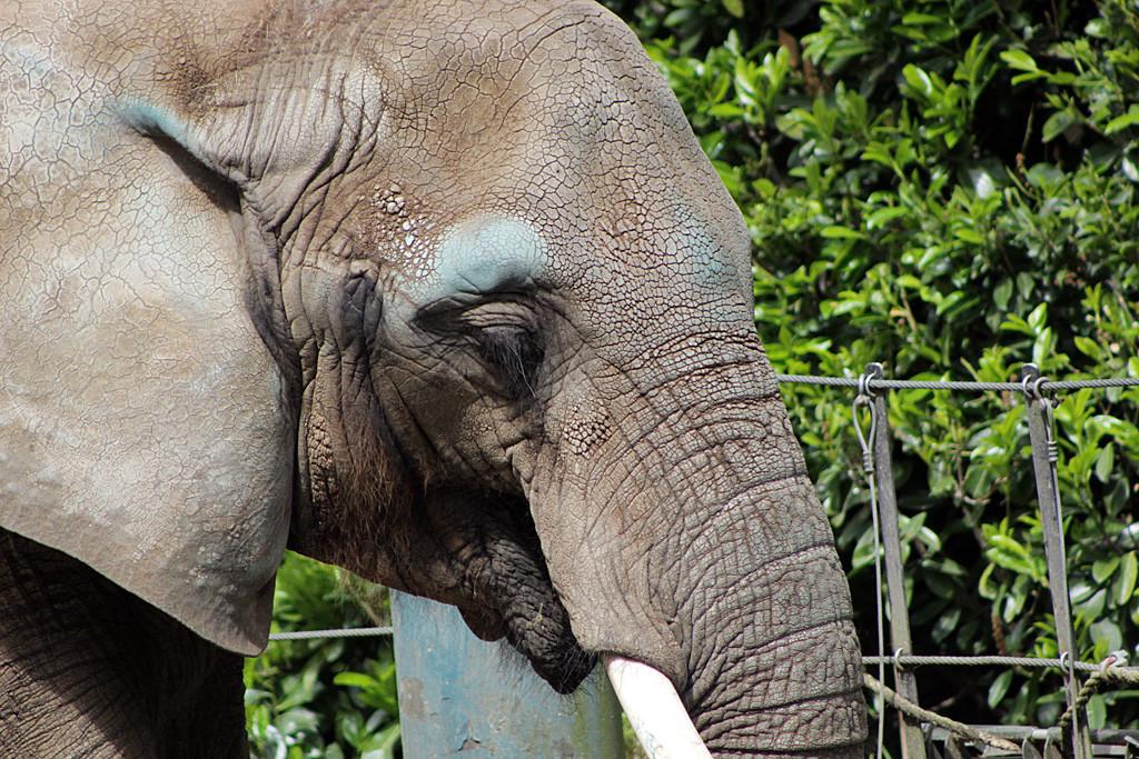 Watoto (African elephant)