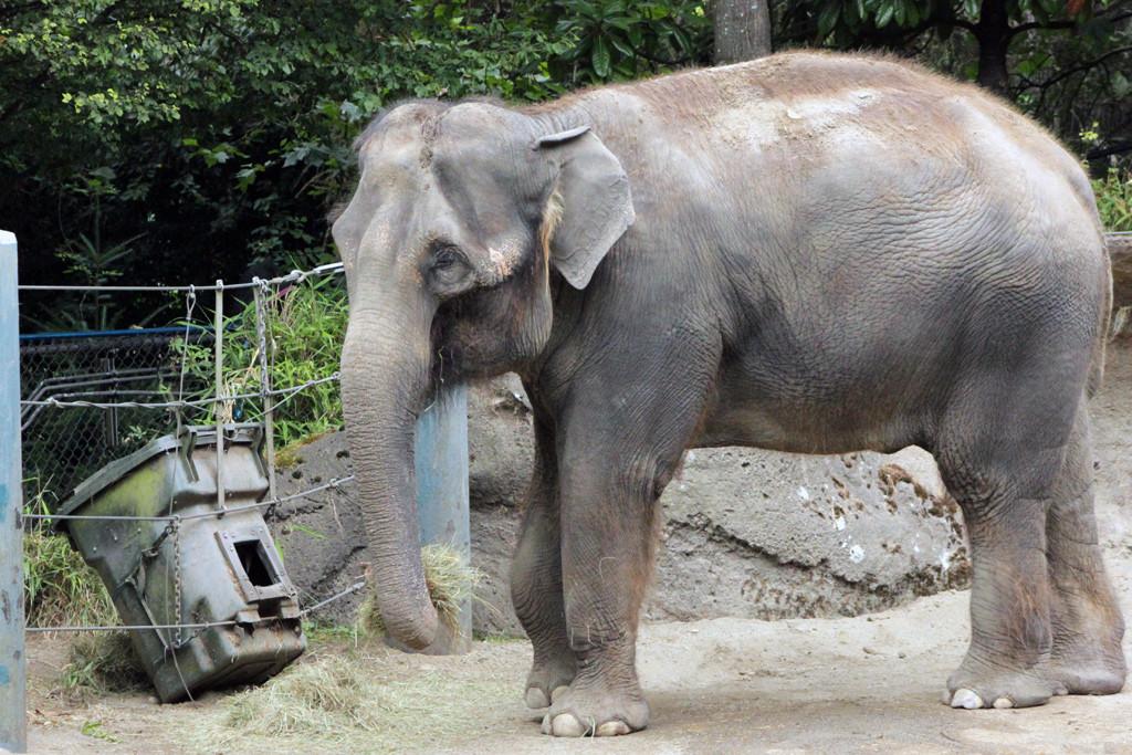 Chai (Asian elephant)