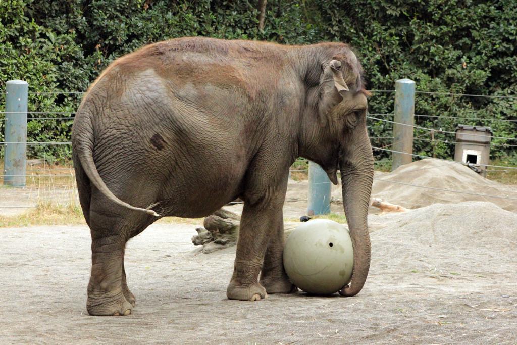 Bamboo (Asian elephant)