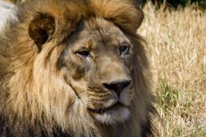 Xerxes the African lion
