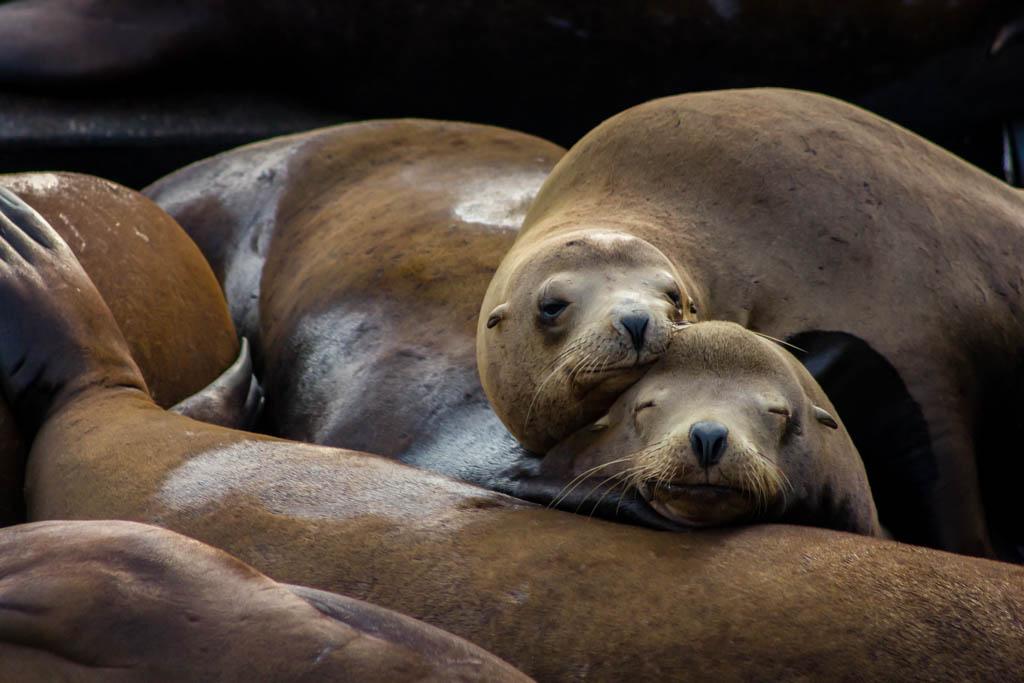 Newport sea lions